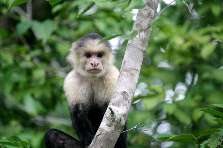 A bold monkey in Manuel Antonio