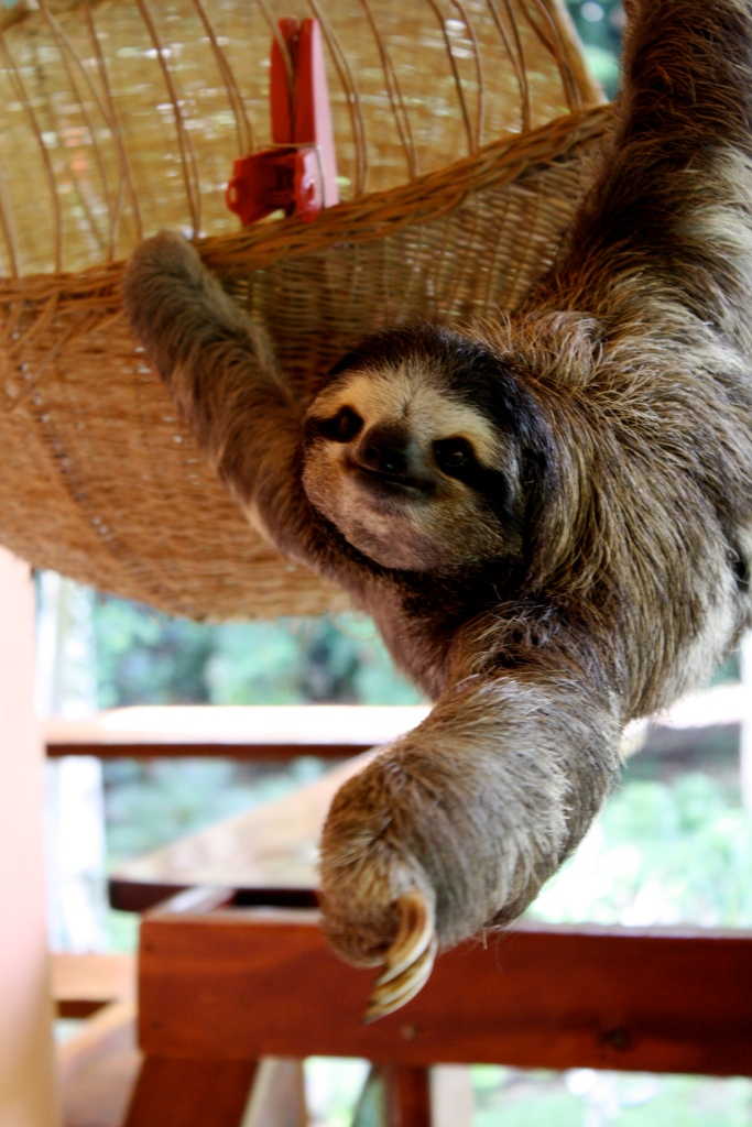 Buttercup, the grand dame sloth at Aviarios Sloth Sanctuary, reaches out to her new friends.